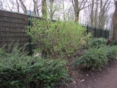arbuste à feuilles.JPG